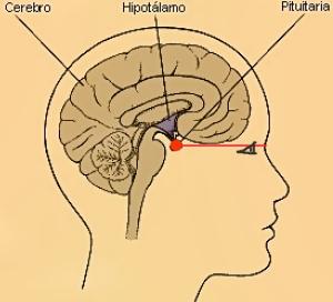 Glándula pituitaria 3